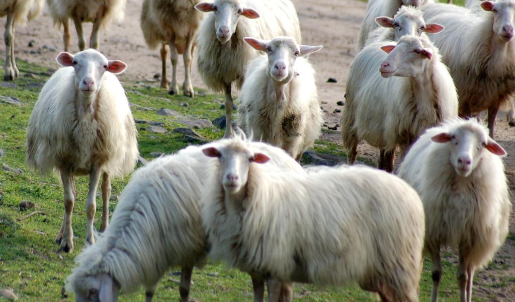 20080428_FOTO_gregge_di_pecore_d0